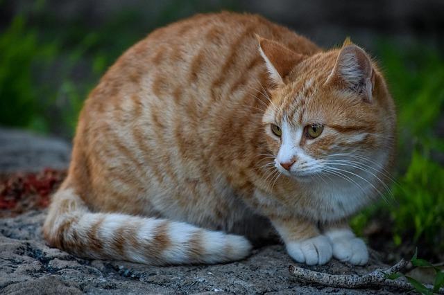 bílozrzavá kočka.jpg